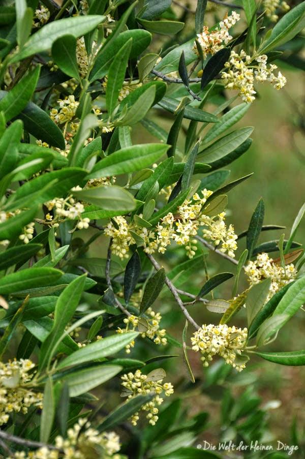 Olivenbaum in Blüte