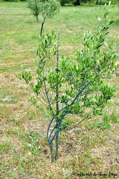 Junger Olivenbaum
