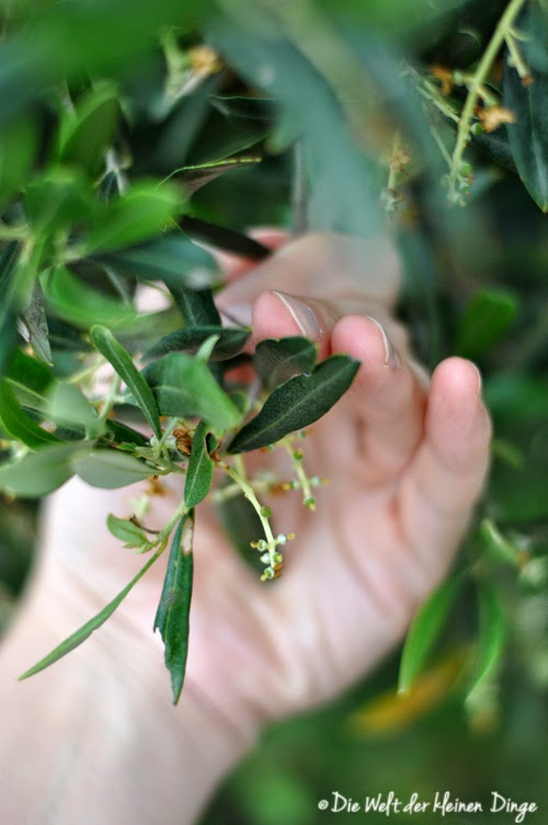 Oliven, junge Früchte