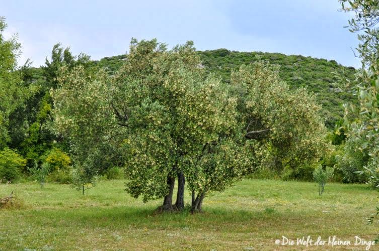 40 Jahre alte Olivenbaum