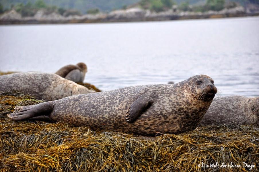 Irland: Garinish Island - Seehunde