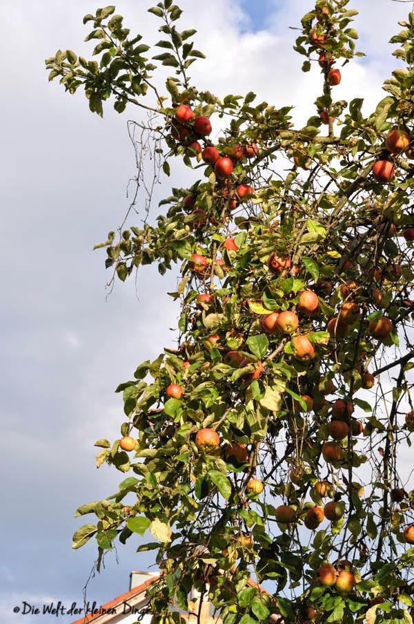 Sonntag-Herbst-Spaziergang - Apfelbaum