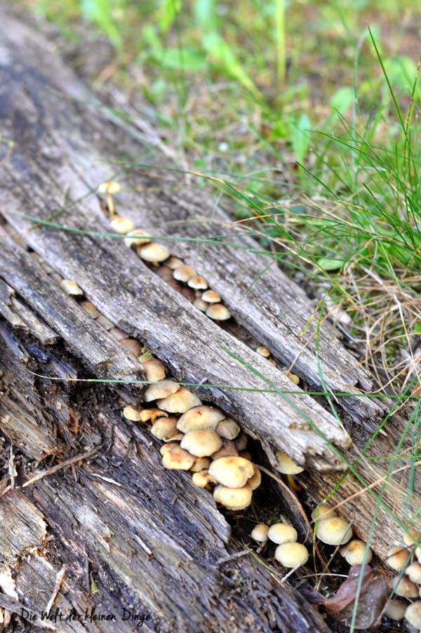 Herbstspaziergang - Baumstamm mit Pilzen